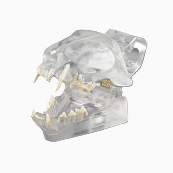 Articulated Clear Feline model with natural root teeth - CTD