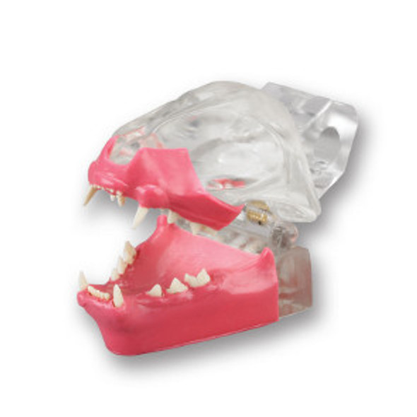 Articulated Clear Feline model with natural root teeth with Gingiva- CTDG