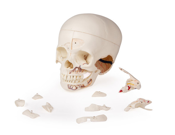 Luxury demonstration Children's skull, 14 parts