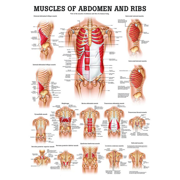 Muscles of the Abdomen and Ribs