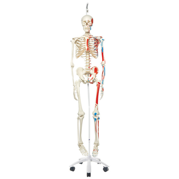 Artificial Skeleton with Painted Muscle Origins and Inserts on hanging stand