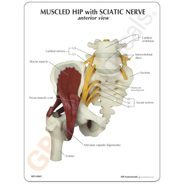 Muscled Hip with Sciatic Nerve - educational card