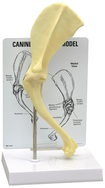 Canine Shoulder