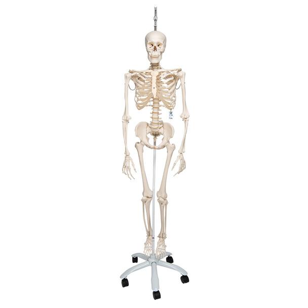 Physiological Skeleton Model