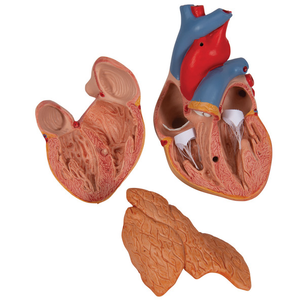 Heart Model with Thymus, 3 parts | 3B Scientific G08/1