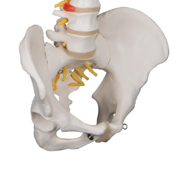 Standard Flexible Spine | 3B Scientific A58/1 - 3/4 pelvis