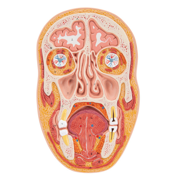 Median and Frontal Section of the Head | 3B Scientific C13