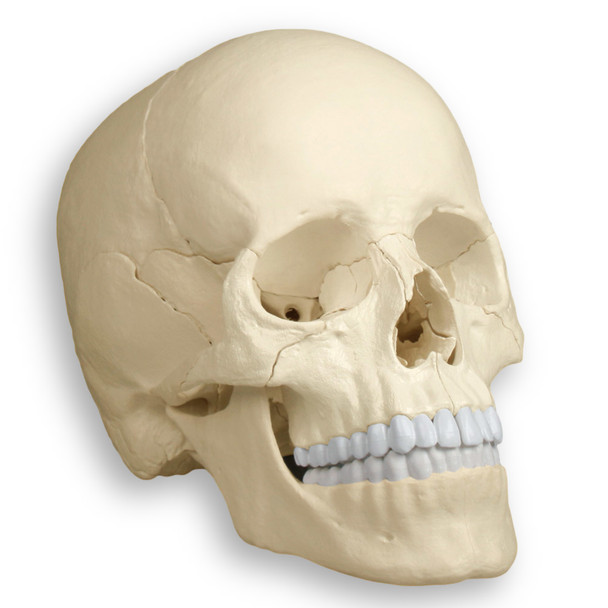 Magnetic, Disarticulated Osteopathic 22-part skull