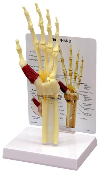 Hand and Wrist Skeleton