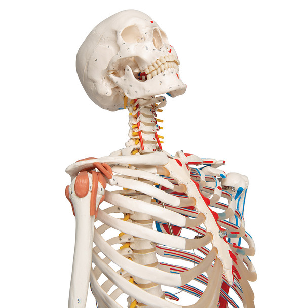 Super Skeleton with Muscle and Ligaments and Hanging Stand - Thorax