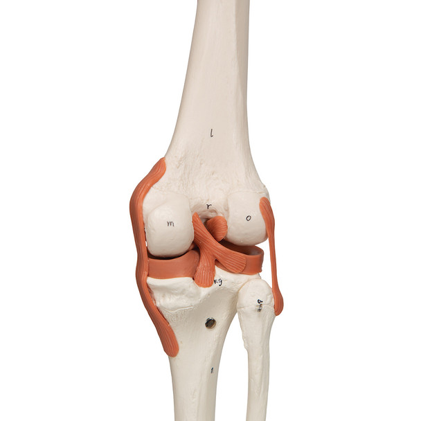 Super Skeleton with Muscle and Ligaments and Hanging Stand - Functional knee