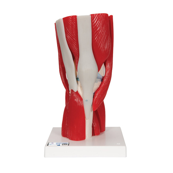Knee Joint with removable muscles, 12 part | 3B Scientific A882