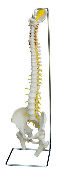 Rudiger Deluxe Flexible Spine with Soft Flexible Discs