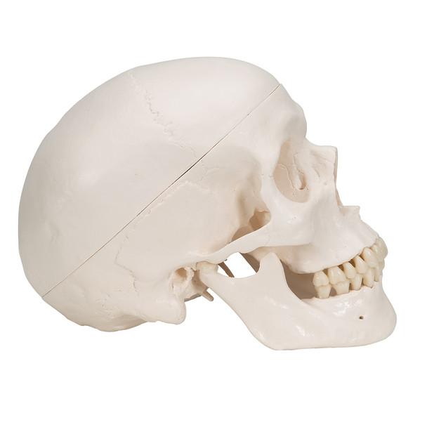 Classic Human Skull Model with 5 part Brain | 3B Scientific A20/9