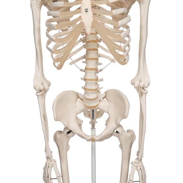 Stan - Standard Skeleton Model - thorax