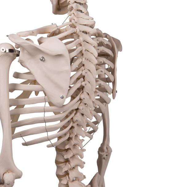 Stan - Standard Skeleton Model - scapula and ribcage