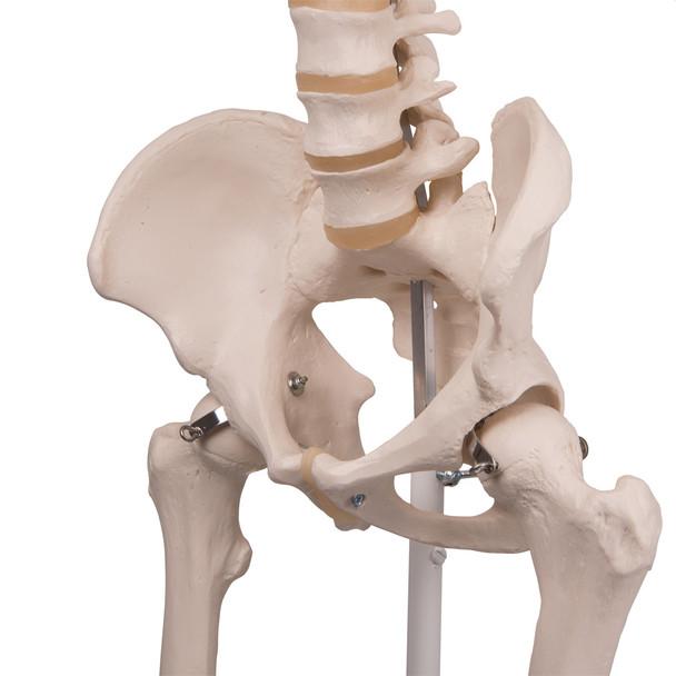 Stan - Standard Skeleton Model - pelvis
