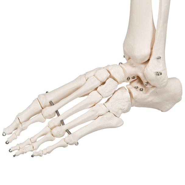 Stan - Standard Skeleton Model - foot