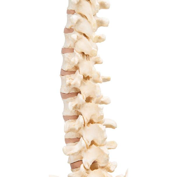 BONElike Vertebral Column | 3B Scientific A794