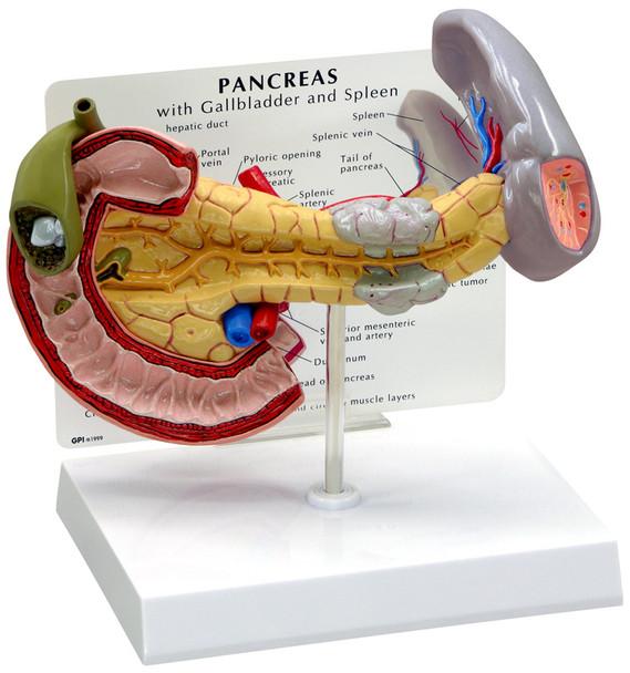 Pancreas Model