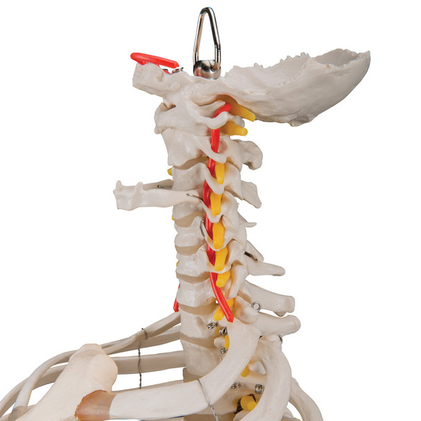 Flexible Spine with Ribcage and Femur Heads