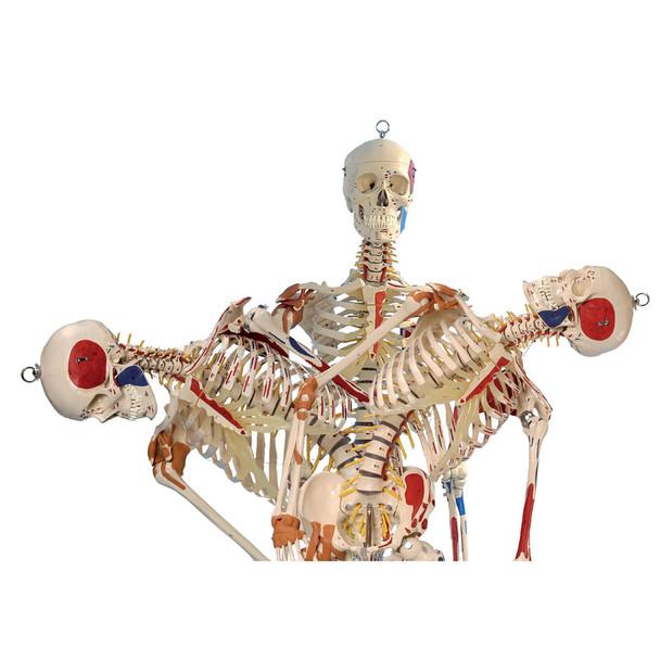 Rudiger Super Skeleton - lateral spinal flexion
