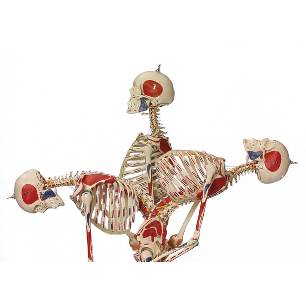 Rudiger Super Skeleton - spinal flexion