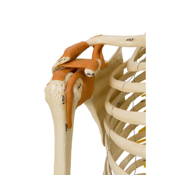 Rudiger Super Skeleton - functional ligamented shoulder