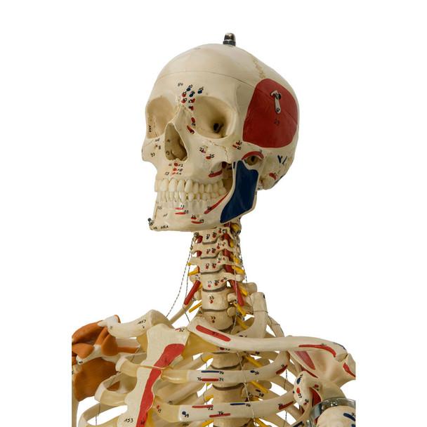 Rudiger Super Skeleton - cervical spine and skull