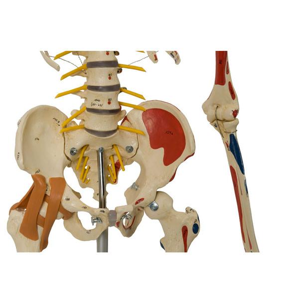 Rudiger Super Skeleton - pelvic mount and hip ligaments