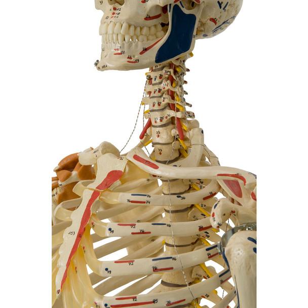 Rudiger Super Skeleton - clavicle and cervical spine
