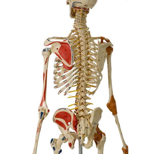Rudiger Super Skeleton - flexible spine and painted muscle insertions and origins
