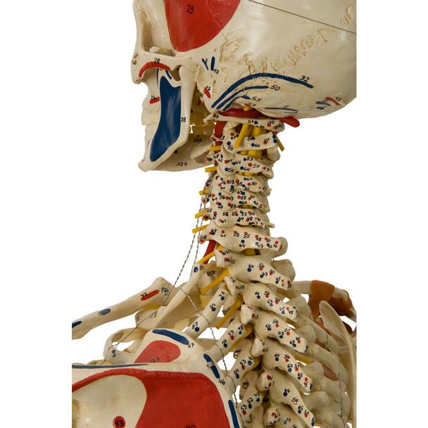 Rudiger Super Skeleton - cervical spine and nerves