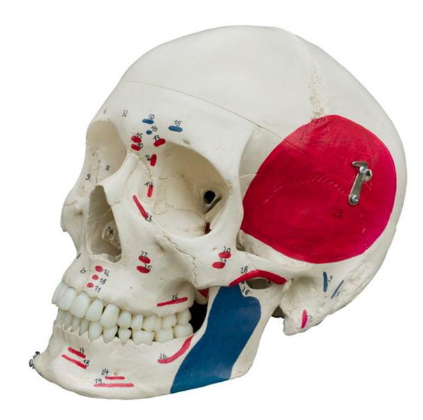 Rudiger Super Skeleton - detail of skull