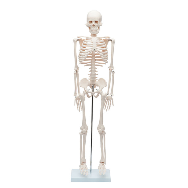 Value Miniature Human Skeleton