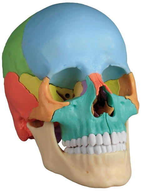 22 Part Disarticulated Skull, Didactic coloured