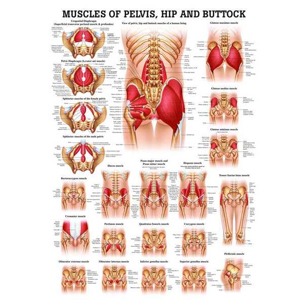 Muscles of the Pelvis, Hip and Buttock