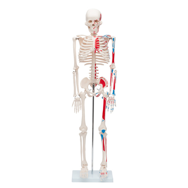 Value Miniature Human Skeleton with Painted Muscle Insertions