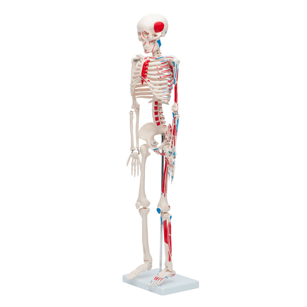 Mini Skeleton with muscles painted - 33in | 85cm