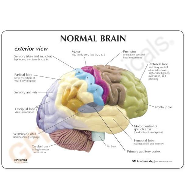 Sensory/Motor Brain reference card