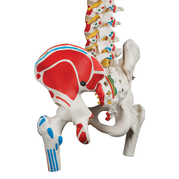 Classic Flexible Spine Model with Femur Heads and Painted Muscle