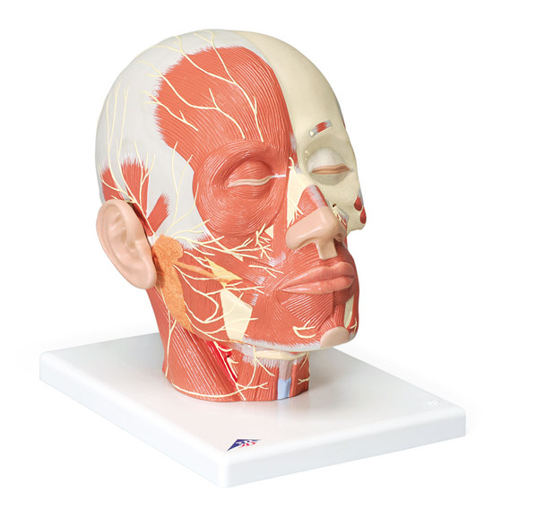 Head Musculature w/ Nerves