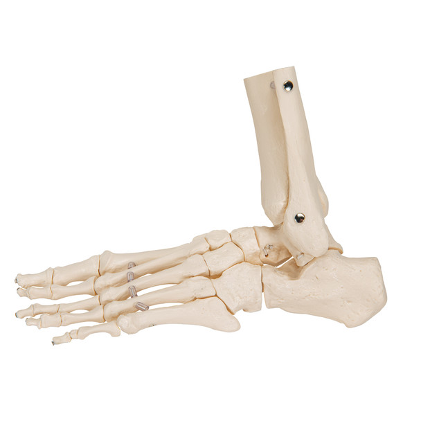 Flexible Foot Skeleton with ankle