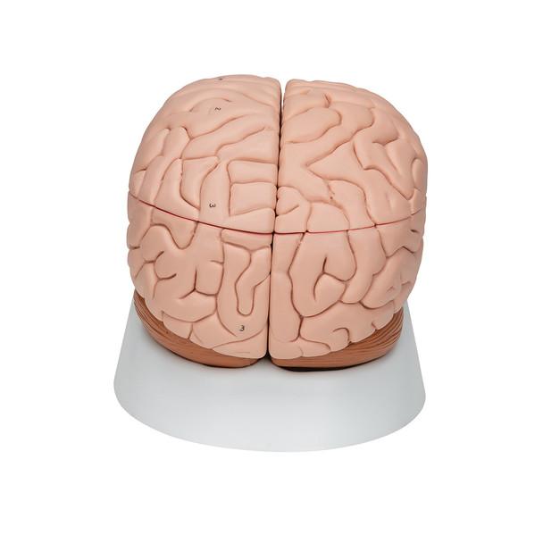 Deluxe Brain Model, 8 parts
