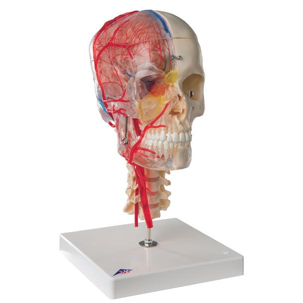 BONElike Human Skull Model, Half Transparent & Half Bony- Complete with Brain and Vertebrae | 3B Scientific A283