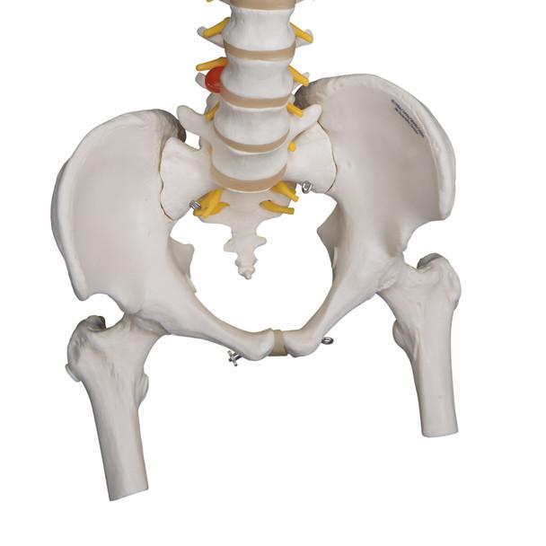 Heavy-Duty Flexible Spine with Femur Heads