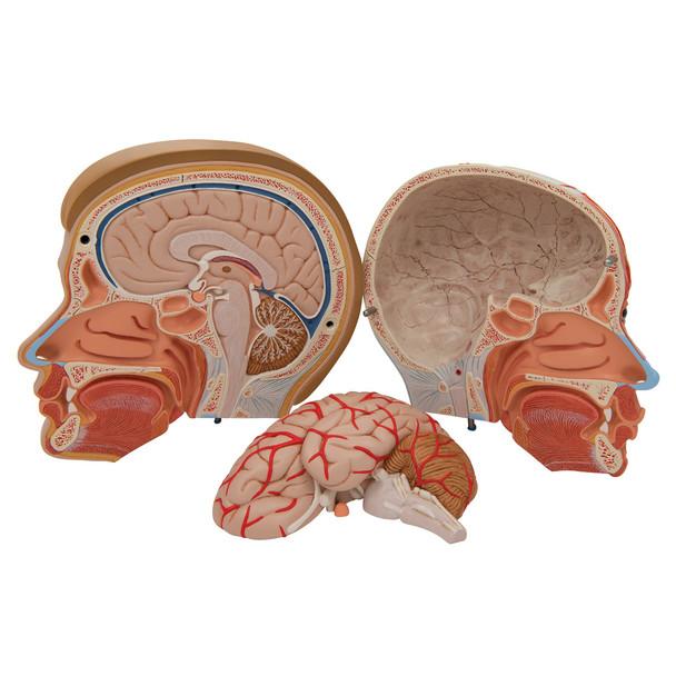 Head with Neck, 4 parts | 3B Scientific C07