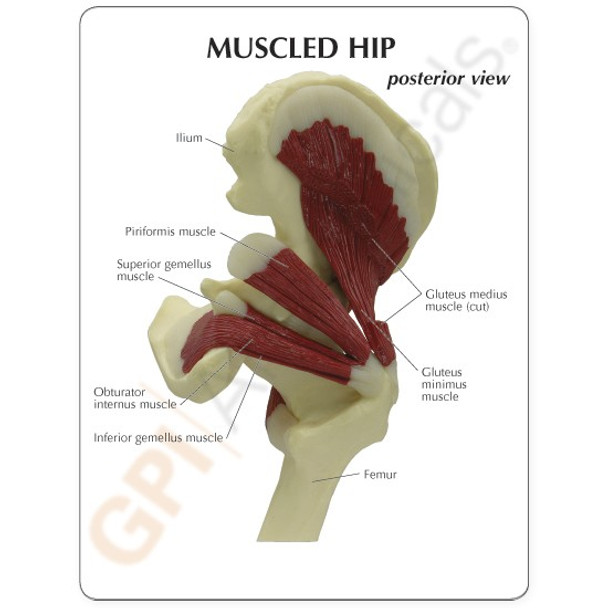 Muscled Hip