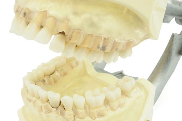 Hygiene Typodent, Full Dentition