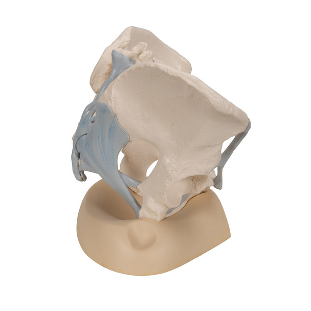 Female Pelvis Skeleton Model with Ligaments, 3 part
